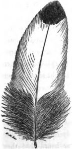 spangled feather