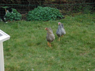 Free Range Chickens - Pasture Rotation