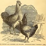 Cross Breeding Chickens - Importance of Crosses