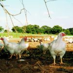 Free Range Poultry - How to Keep Free Range Poultry