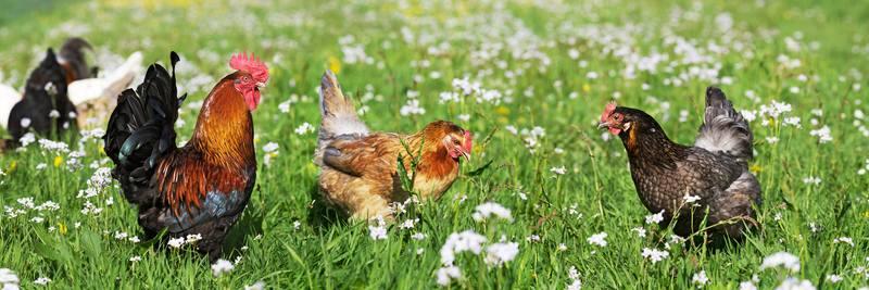 Happy Chickens - Plenty of Space
