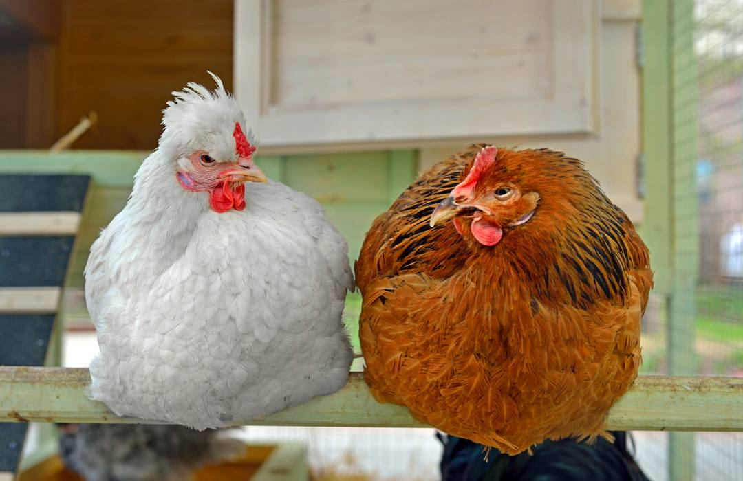 about perches or roosting bars for chickens the poultry pages