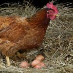 My hens have stopped laying eggs, why?