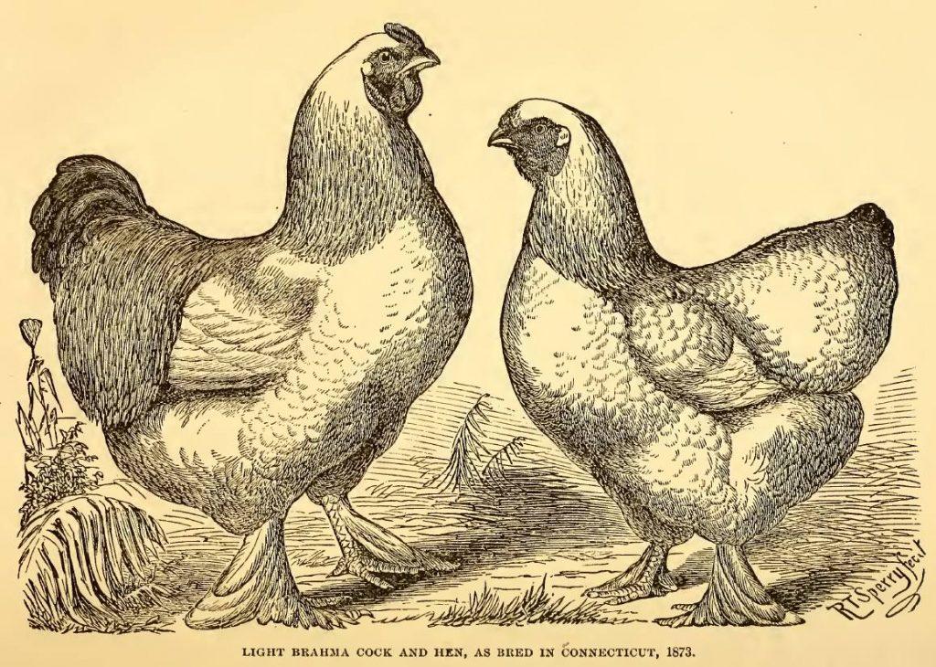 Light Brahma Cock and Hen