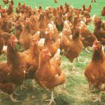 Alternative Organic Poultry Standards for Poultry Keepers