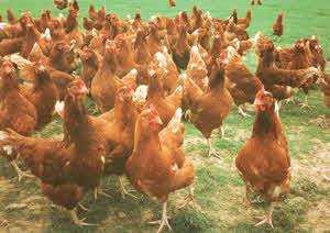 Organic Hens - Alternative Organic Poultry Standards