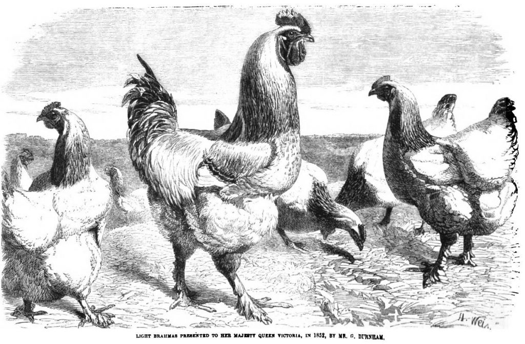 Queen Victoria's Brahma Chickens