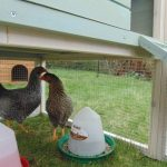 Feed Your Back Garden Chickens More Greens