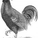 Spangled Hamburgh & Pheasant Fowl