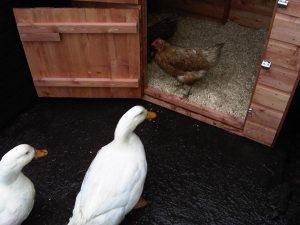 Duck Housing