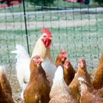 Do I need a licence or to register if I keep poultry?