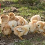 Breeding Chickens, Incubating, Hatching, Rearing