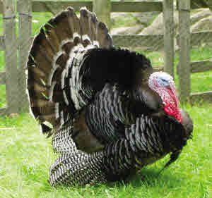 Bronze Turkey Stag - Turkey Breeds
