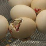 Incubating Chickens & Ducks - Brief Guide