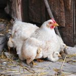 Rearing & Sexing Chicks and Ducklings