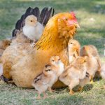 Things to Consider Before Hatching Chicks