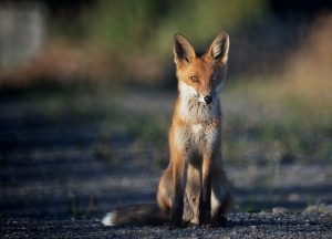 Red Fox - By Foto: Jonn Leffmann