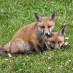 Foxes & Fences: Protecting the Poultry Flock from Foxes