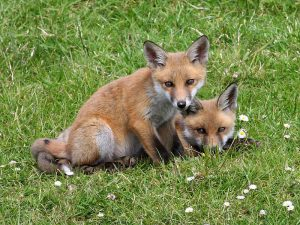 Red Foxes - Protection from Foxes