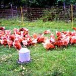Electric Fences Protecting the Poultry Flock from Predators