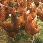 Hybrid Chicken Breeds