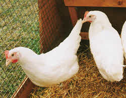 White Star Hybrid Hens