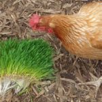 Growing & Feeding Sprouted Wheatgrass Fodder to Hens