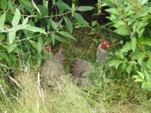 Chickens in the bushes