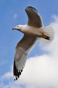 Seagull - Avian Flu Outbreak