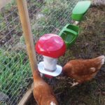 Pest Proof Poultry Feeder and Two Hens