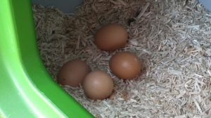 4 Eggs in Nestbox