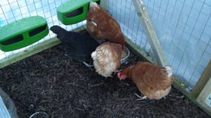 Hens Eating Corn