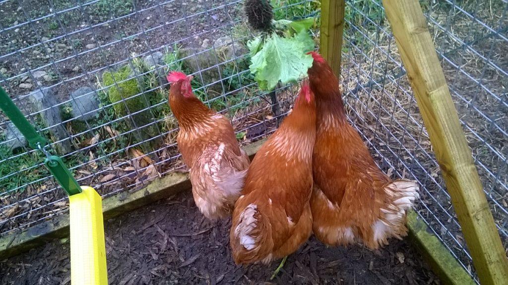 Hens Eating Lettuce