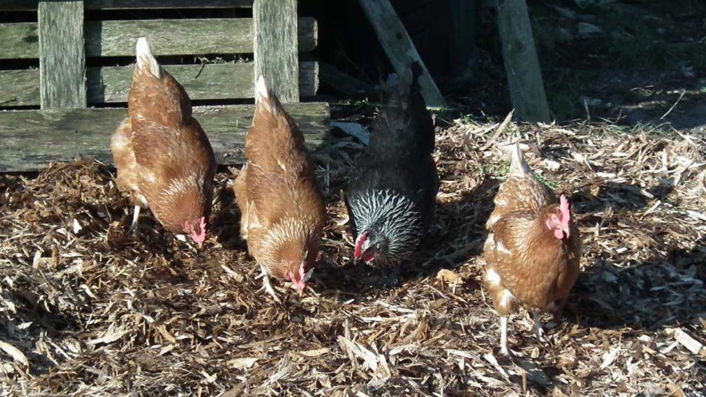 Hens Working in Veg Plot