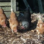 Hens Working in Veg Plot