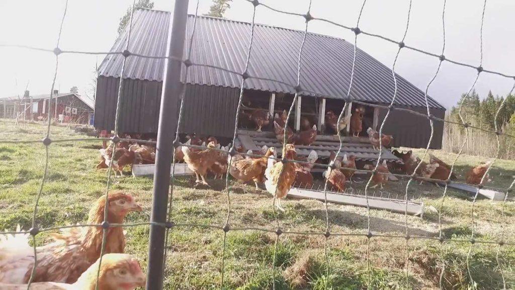 R Perkins Hens Leaving Egg Tractor