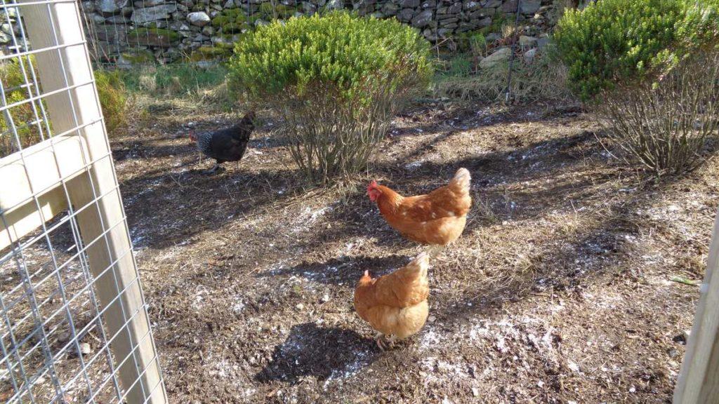 Chickens on ground
