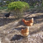 Chickens on ground