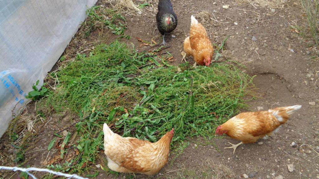Hens eating sorrel