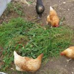 Hens eating sorrel