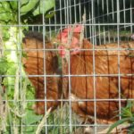 Chickens Behind Wire