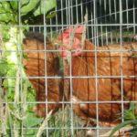 Chickens Behind Wire