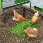 Hens Eating Chickweed