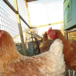 Hens Looking Out