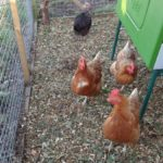 Hens in Secure Run