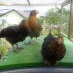 Black Rock Hens on Omlet Cube