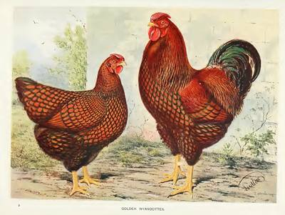 Live Poultry Fertile Eggs Sale Breeders And Suppliers Of