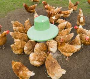Point of Lay Hens for Sale in the UK, Suppliers of point of