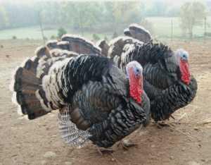 Turkey For Sale >> Turkeys For Sale In The Uk Suppliers Of Turkeys Bronze Norfolk Black