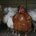 Poultry Starter Packs
